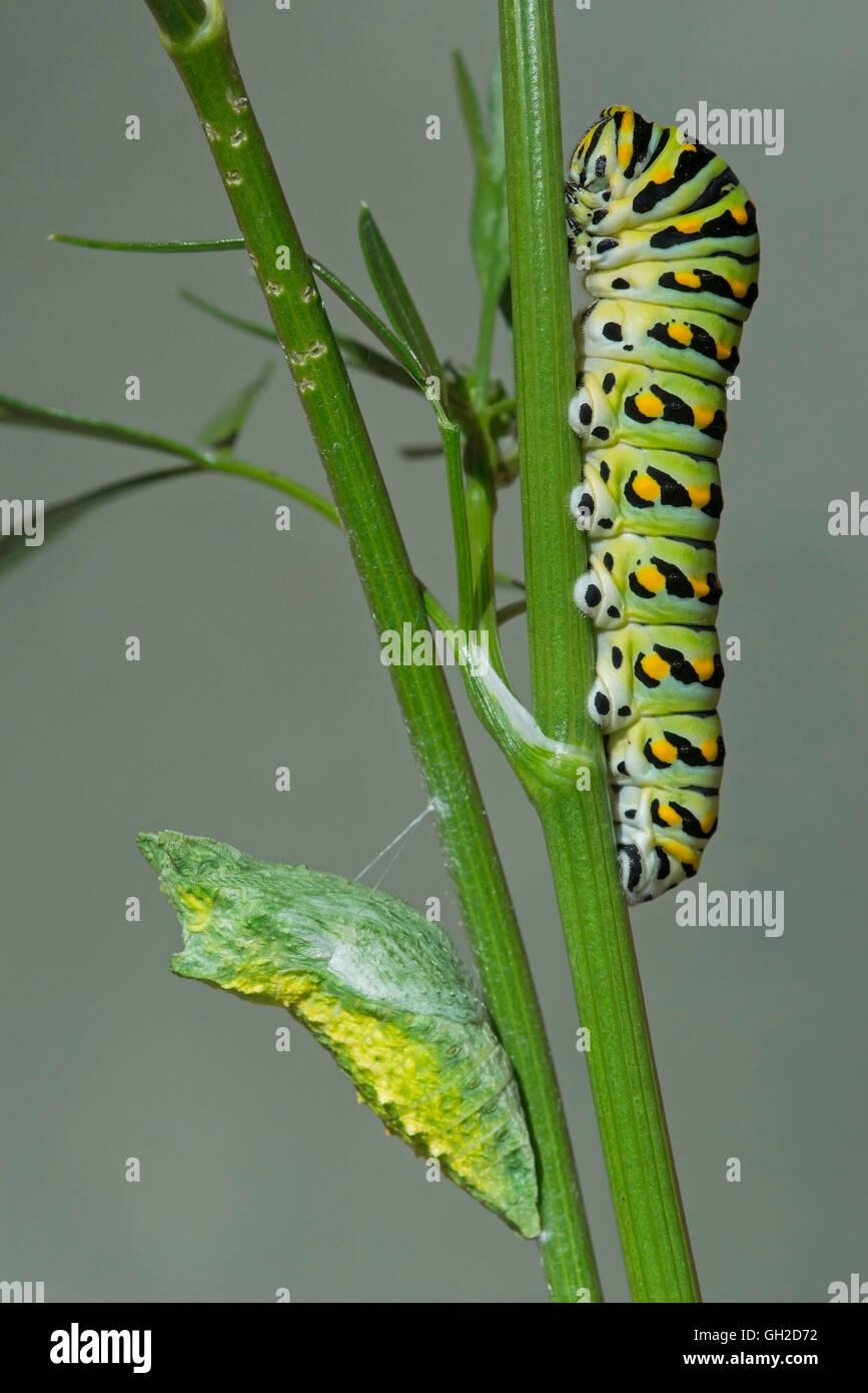 E Especie Papilio polyxenes (mariposas) Caterpillar y principios de pupa (Crisálida) etapas, el este de América del Norte (c Foto de stock