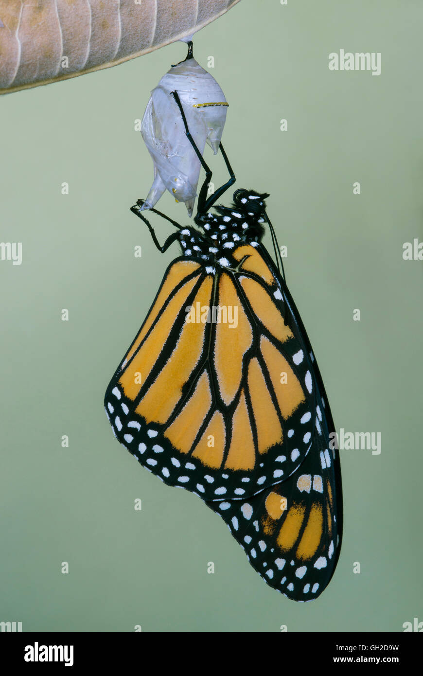 Mariposa monarca Danaus plexippus adulto saliendo de la crisálida y secado de este de los EE.UU. Imagen De Stock