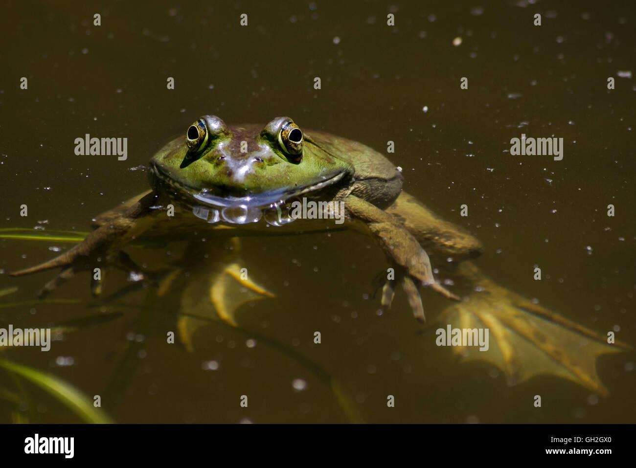 La rana toro en el estanque cercano Foto de stock