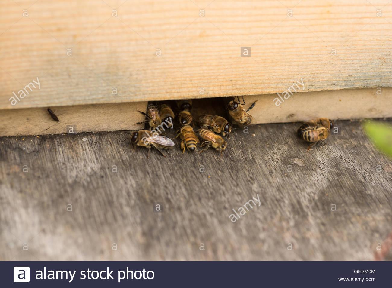 Las abejas obreras pateando drones fuera de la colmena. Imagen De Stock