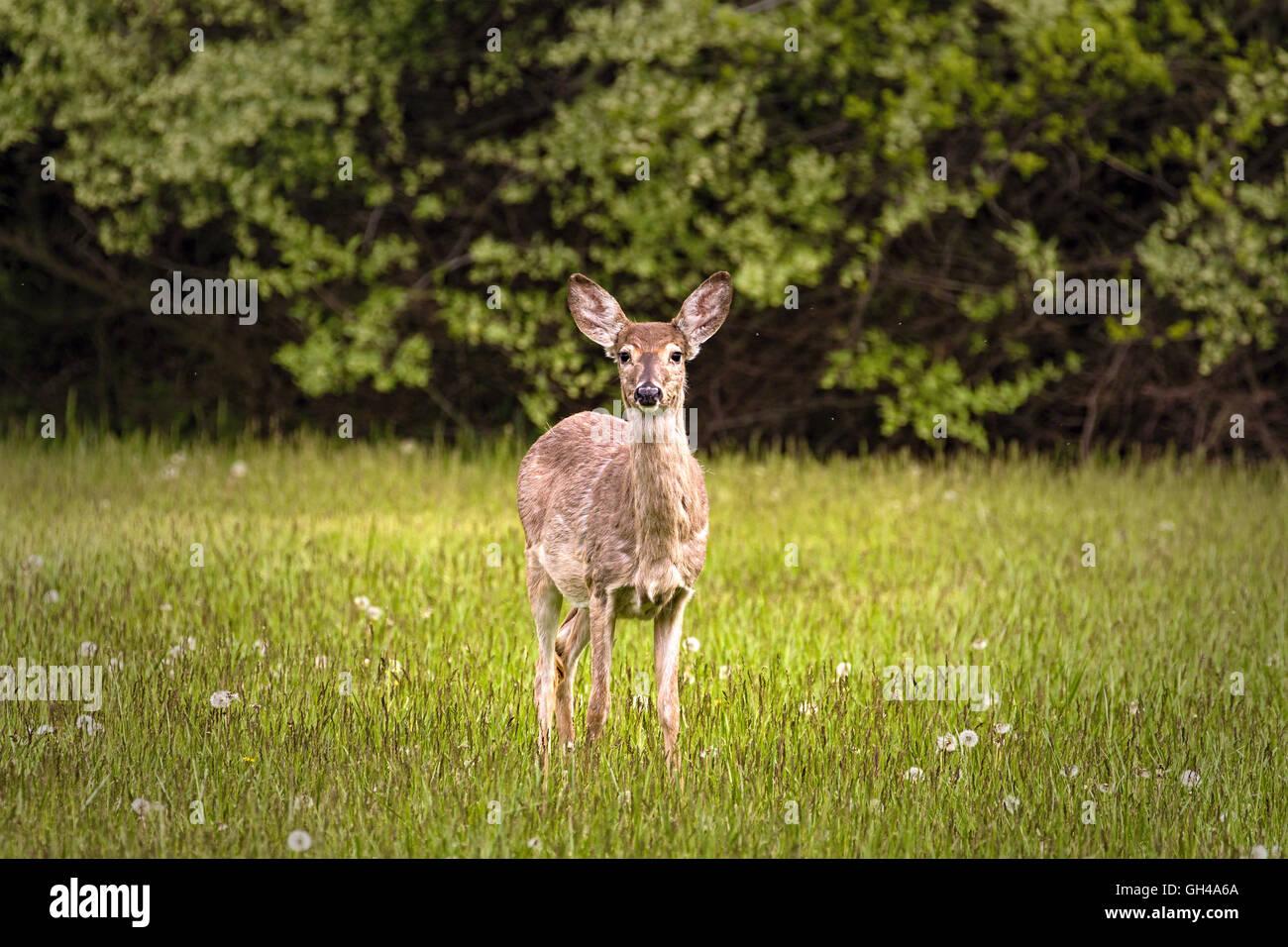 Un Venado Cola Blanca alerta en la primavera de pradera, Hunterdon County, New Jersey Imagen De Stock
