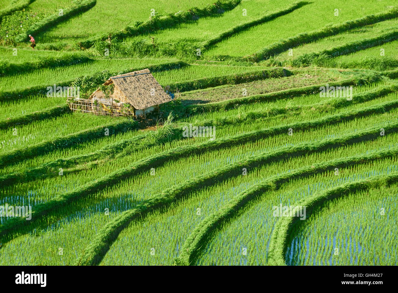 Campo de terrazas de arroz, Bali, Indonesia Imagen De Stock