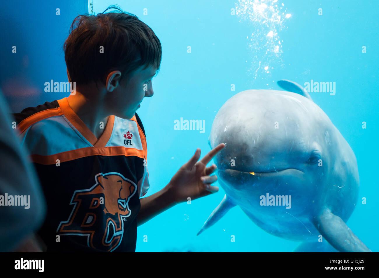 Un niño interactúa con una falsa orca (Pseudorca crassidens) en el acuario de Vancouver en Vancouver, Canadá. Foto de stock