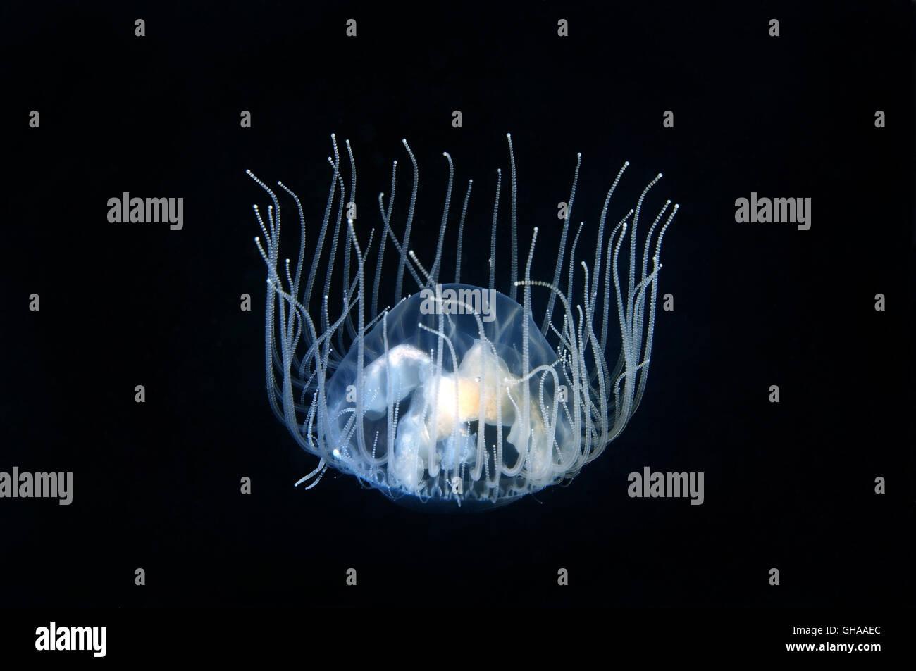 Aferrándose medusas o venenosos (Gonionemus vertens gonionemus) el mar de Japón, en el Lejano Oriente Imagen De Stock