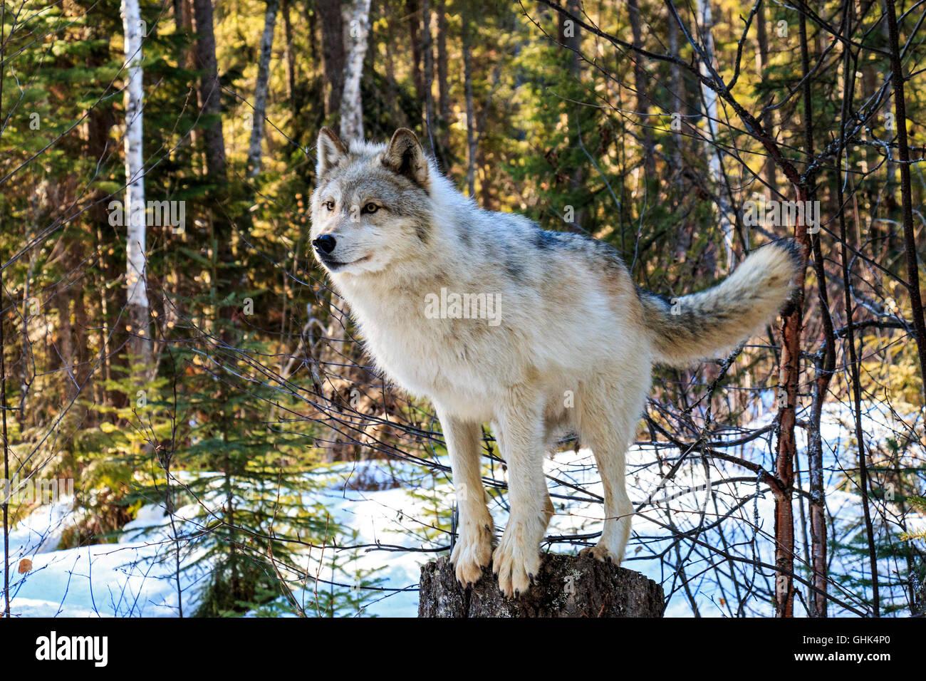 Los lobos caminar con los visitantes durante una visita guiada a pie de lobo en el bosque y jugar en la nieve cerca Imagen De Stock