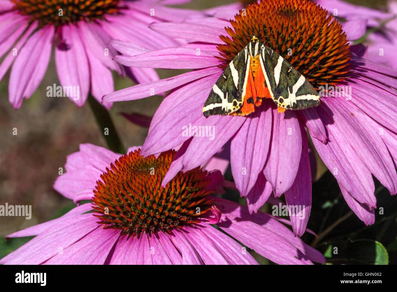 Flores, mariposas Tigre Jersey Euplagia quadripunctaria en Purple coneflower Echinacea purpurea Magnus Foto de stock