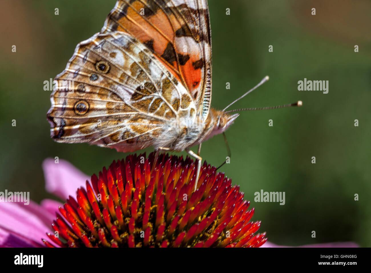 Mariposa de dama pintada sobre la flor Vanessa cardui Coneflower púrpura Echinacea mariposa de cerca Foto de stock