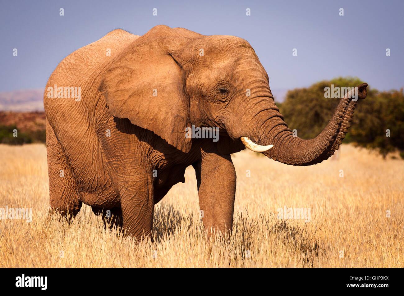 Elefante en la sabana, en Namibia, África, el concepto de viaje en África y Safari Imagen De Stock