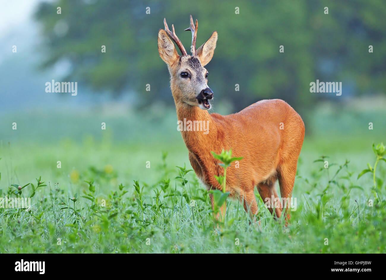 Wild corzo (Capreolus capreolus) de pie en un campo Foto de stock