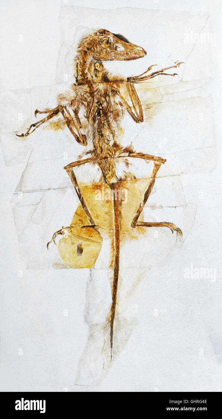Sinornithosaurus millennii, dinosaurios parecidos a las aves con plumas, principios de improntas Cretáceo, 139-122 Foto de stock