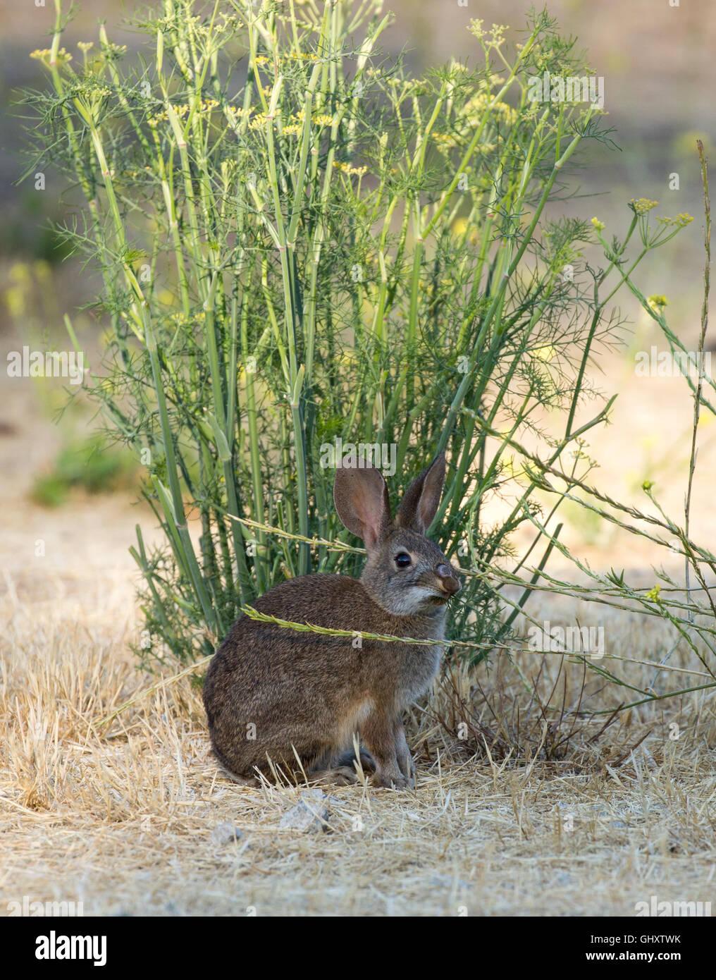 Cottontail Rabbit - Sylvilagus Imagen De Stock