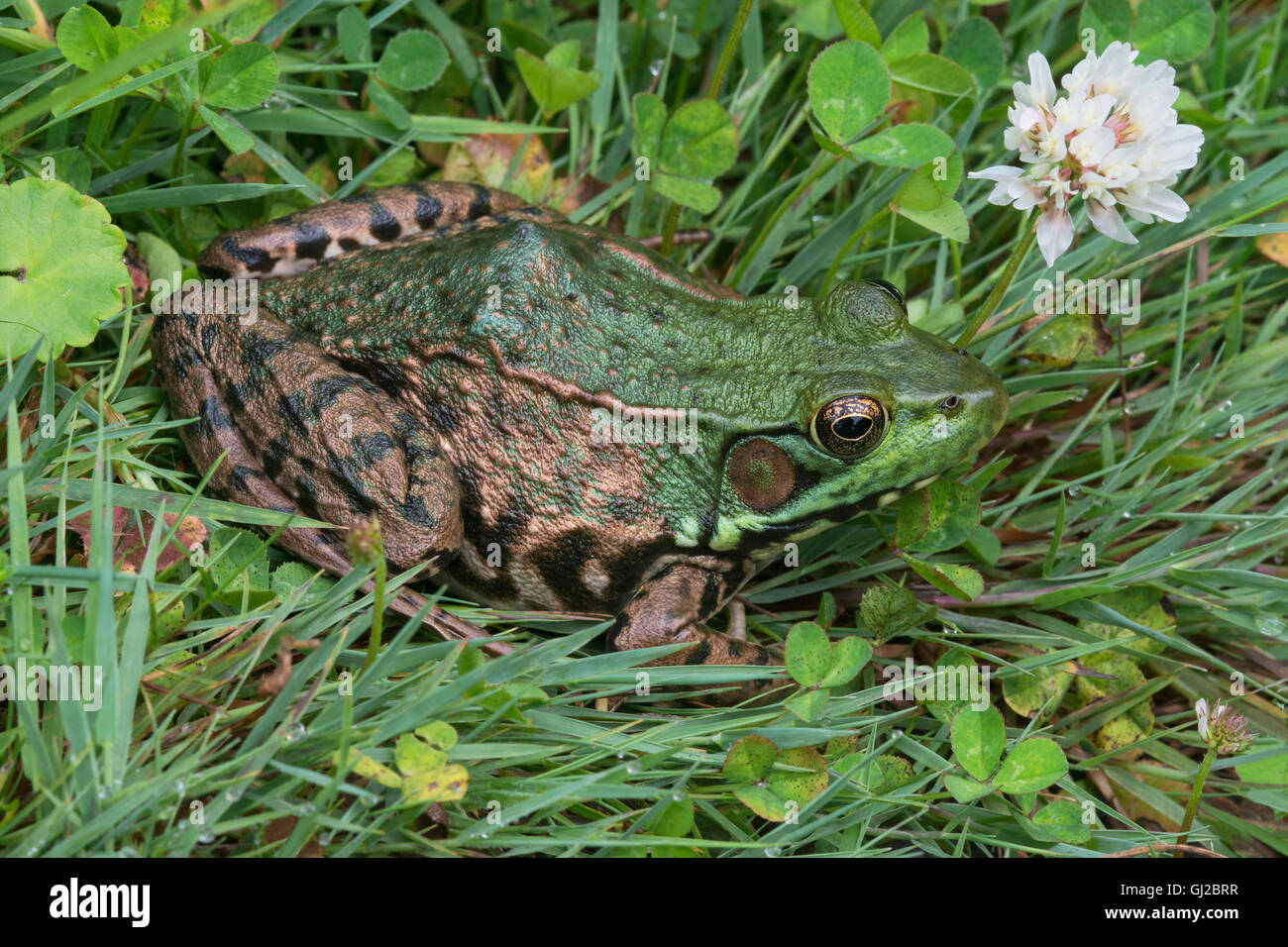 Rana Verde Rana clamitans descansando entre flores de trébol blanco (Trifolium repens) E EE.UU. Foto de stock