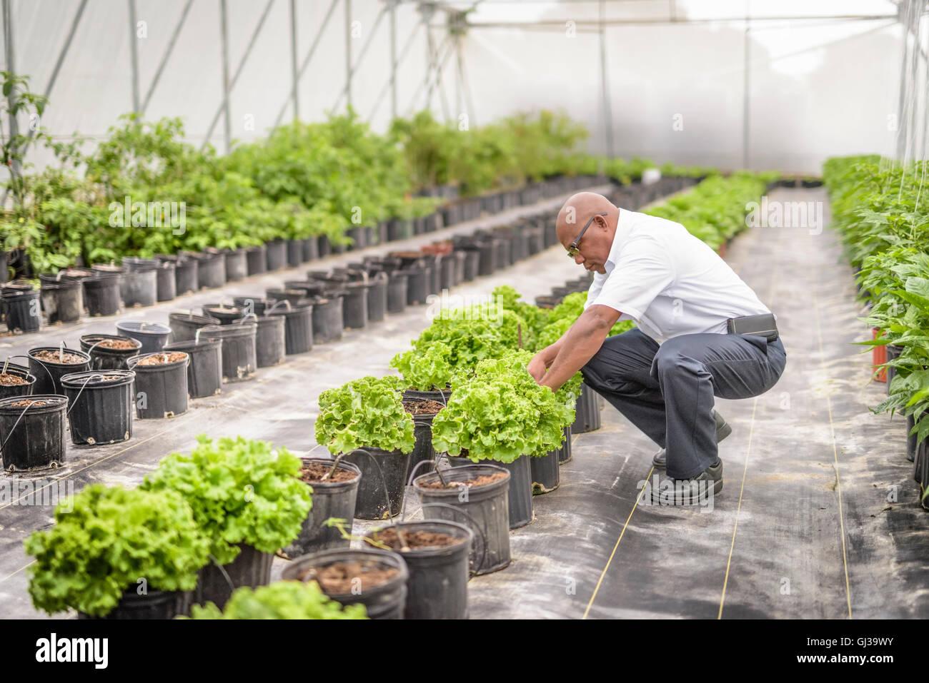 Manager de inspeccionar plantas de lechuga en granja hidropónica en Nevis, West Indies Foto de stock