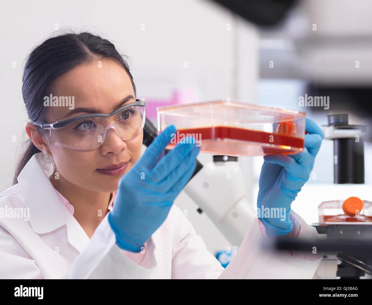 Investigadora examina los cultivos celulares crecen en un frasco de cultivo en el laboratorio. Imagen De Stock