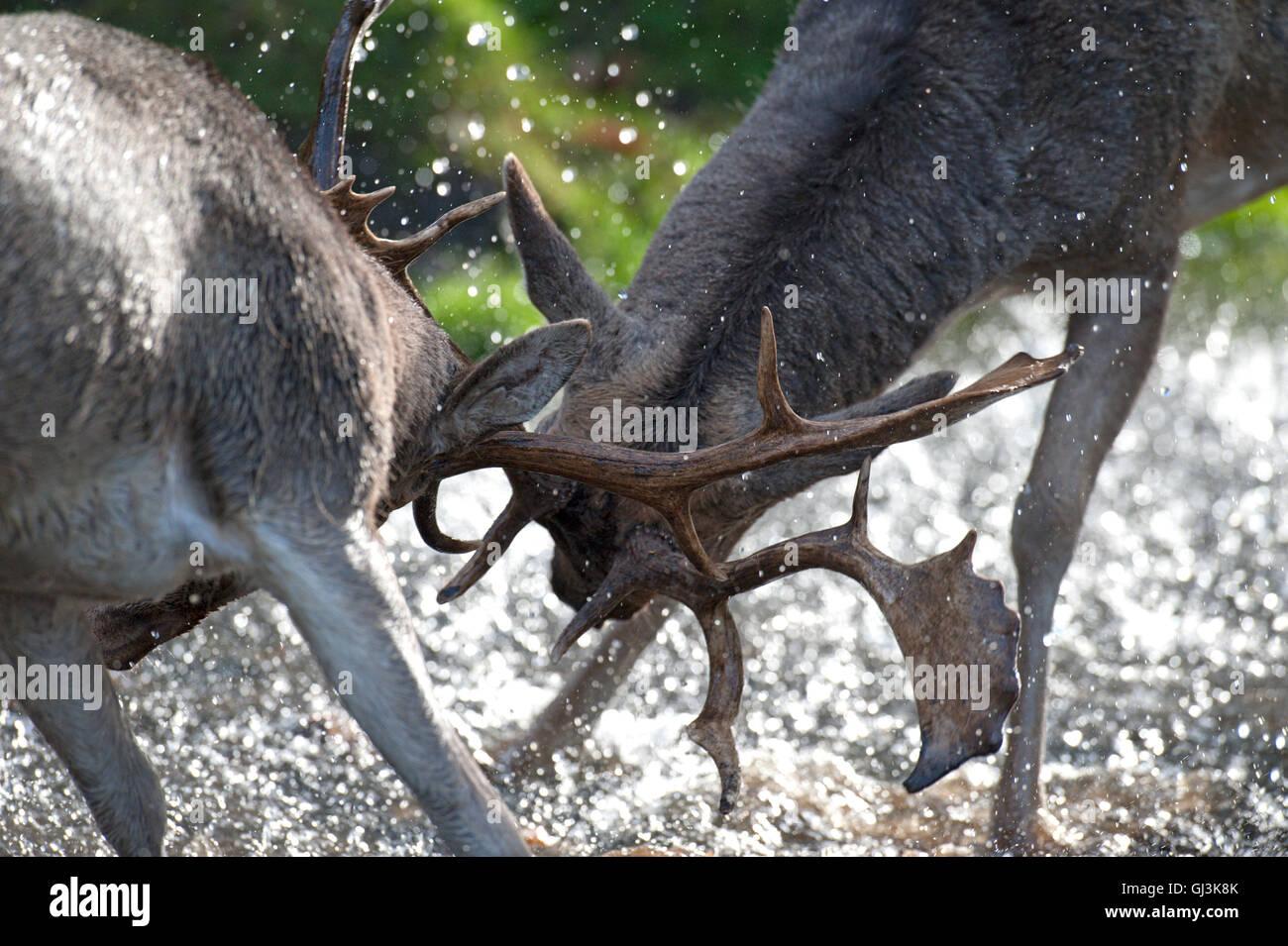 El gamo (Cervus dama). 2 machos celo - UK Foto de stock