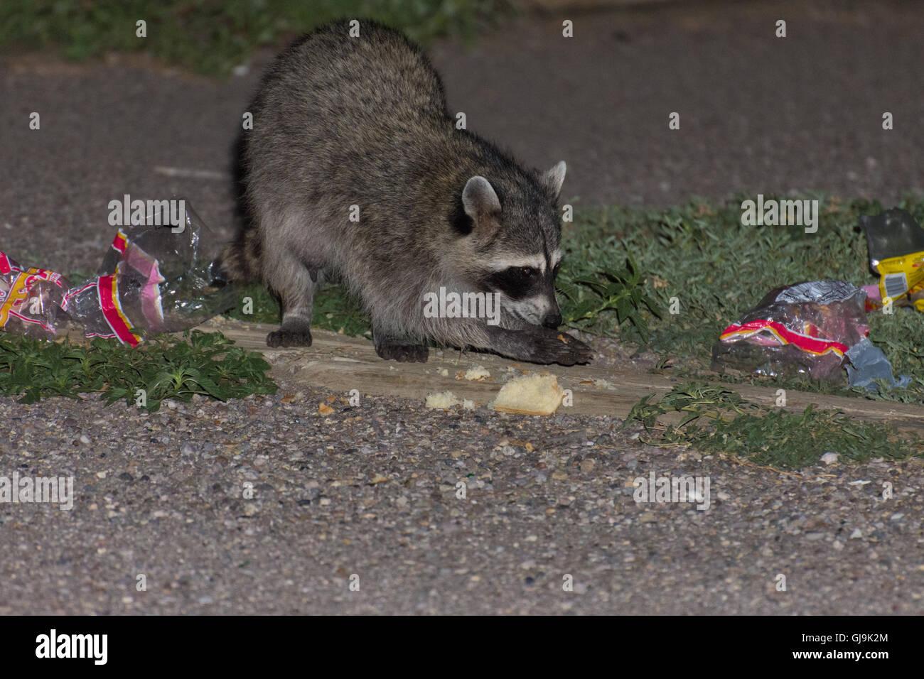 Mapache (Procyon lotor), comer basura. Elephant Butte State Park, Nuevo México, EE.UU. Imagen De Stock