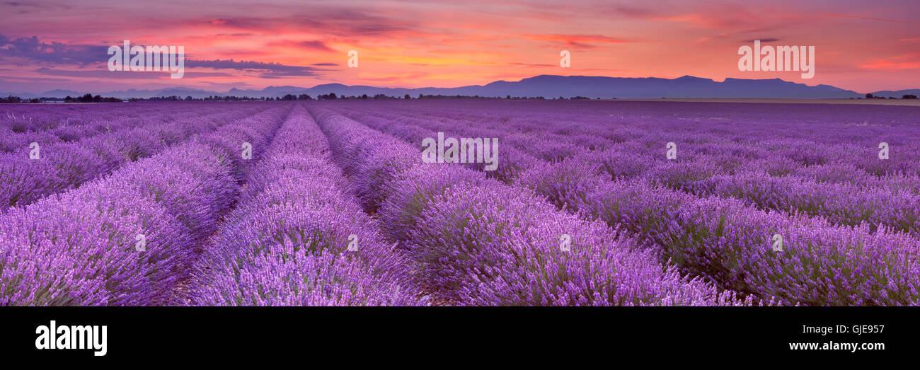Amanecer sobre blooming campos de lavanda en Valensole meseta en la Provenza en el sur de Francia. Foto de stock
