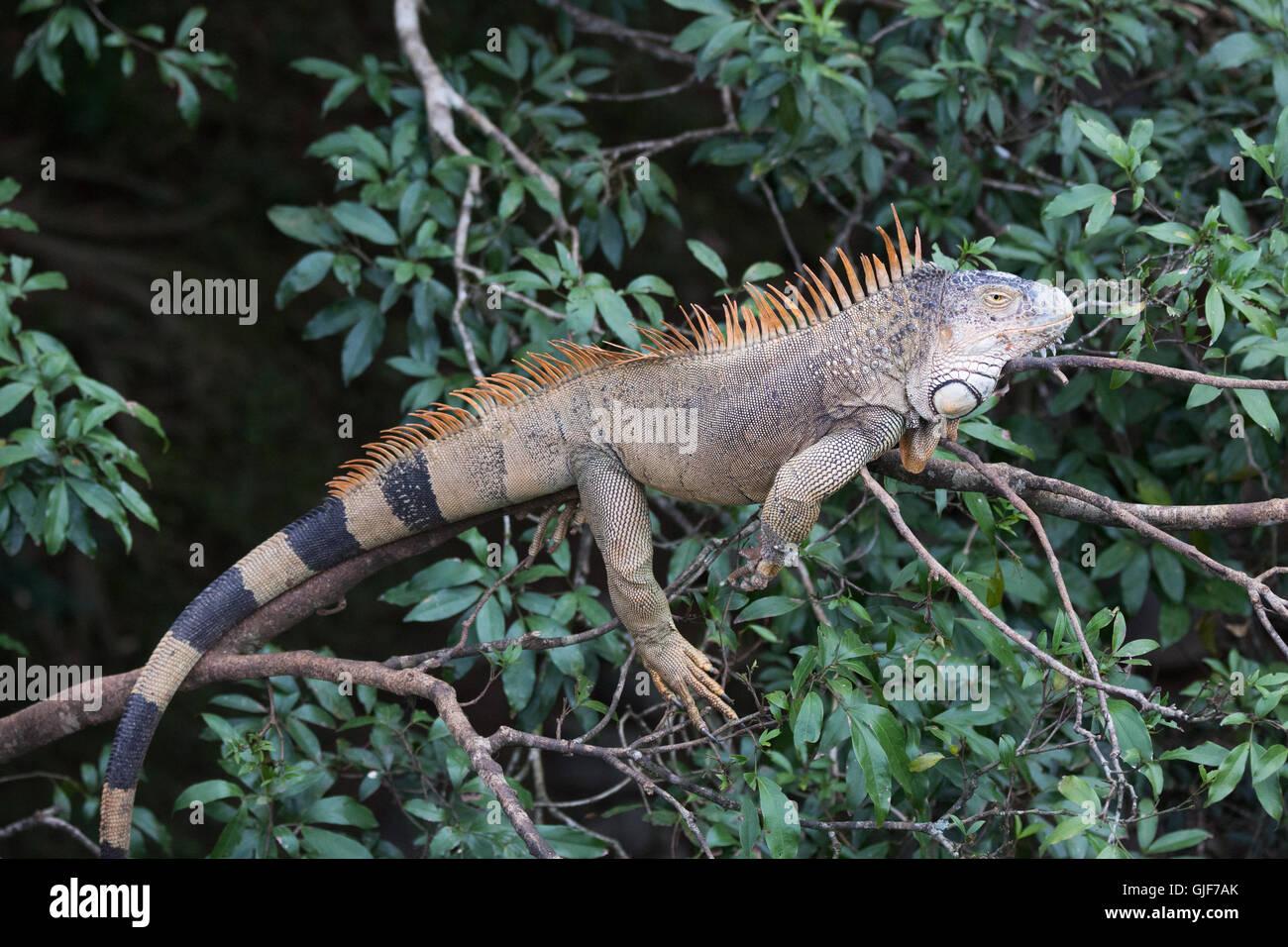 Comunes o iguana verde (Iguana iguana) en el bosque lluvioso, el ...