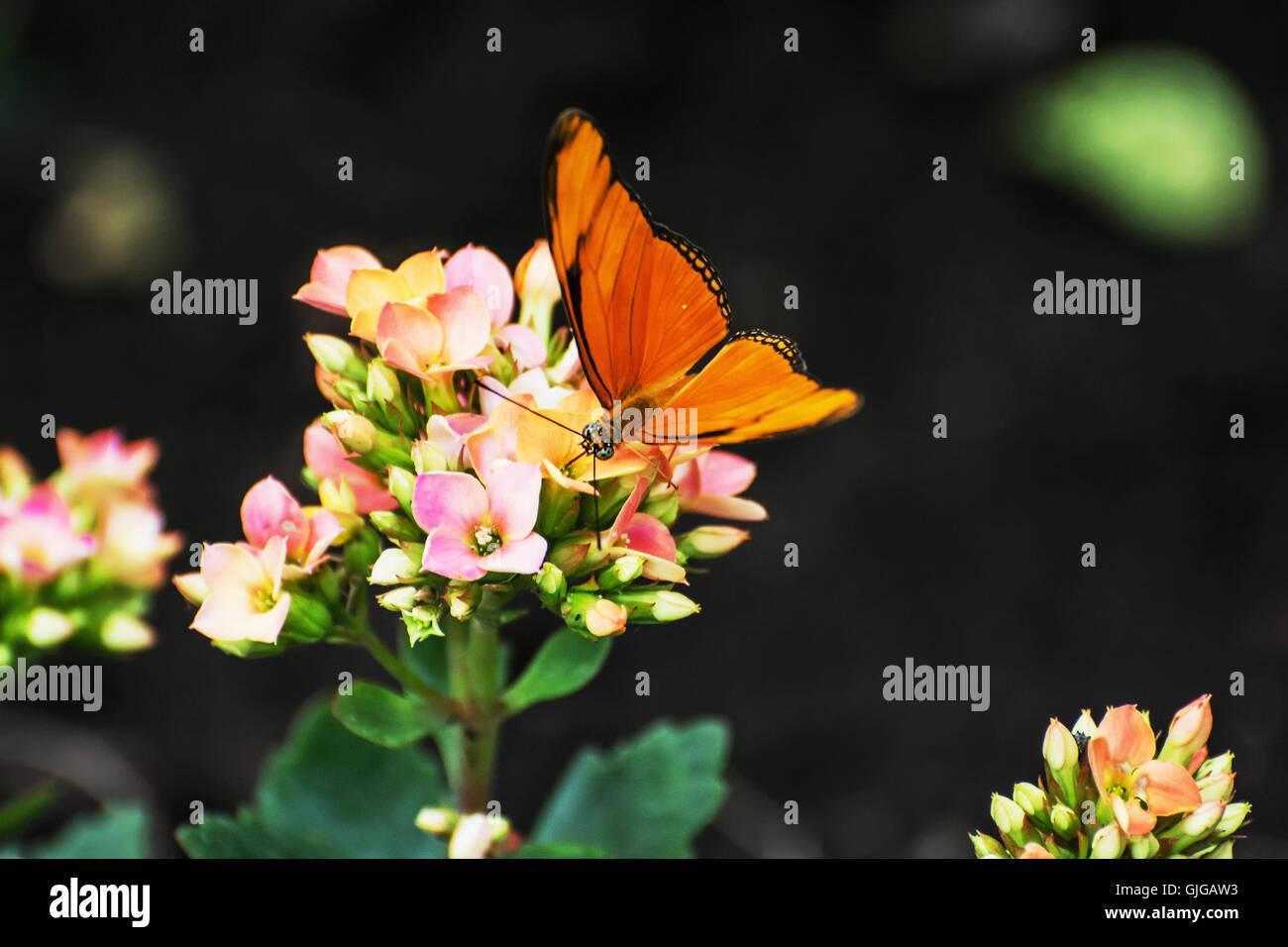 Hermosa mariposa naranja polinizando pequeñas flores rosas y amarillos. La fauna y la flora. Escenario natural de temporada. La belleza de la naturaleza. Foto de stock
