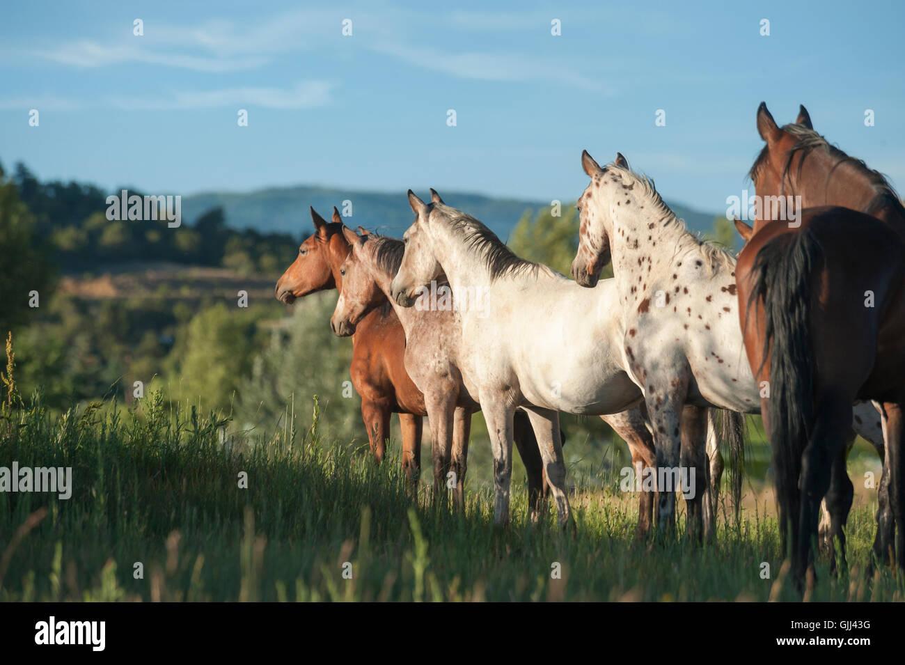 Tigre manada de caballos está oportunamente sobre hierba alta colina. El Caballo de Tiger es una reconstrucción Imagen De Stock