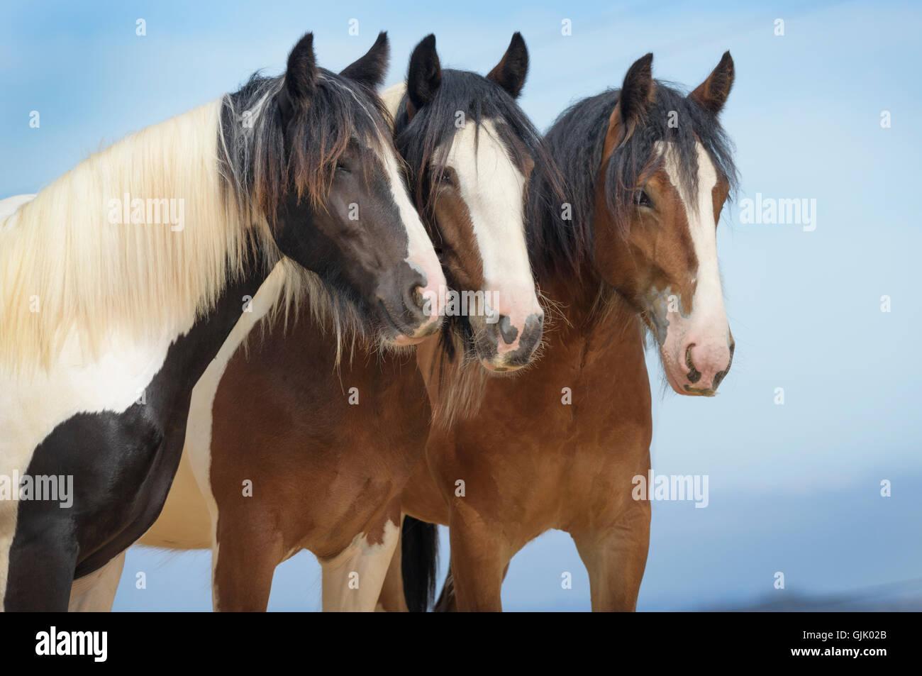 Tres Vanner Gitana Caballo yearling potras párese cerca juntos oportunamente Imagen De Stock