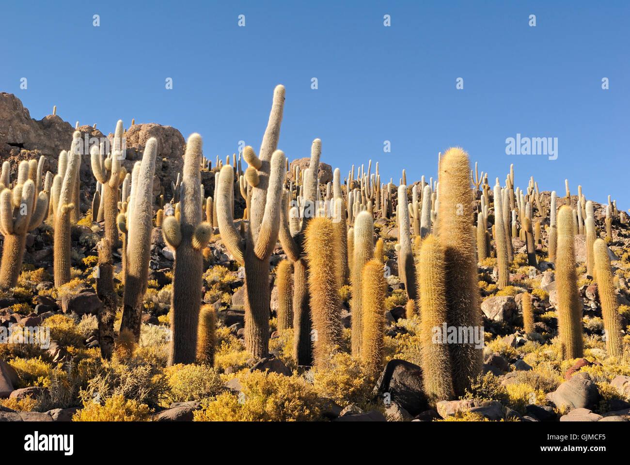 Cactus cactus de América del Sur Imagen De Stock