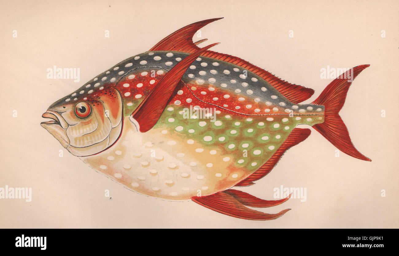 OPAH. Lampris guttatus, moonfish, océano redfin pan,Jerusalén Haddock. COUCH 1862 Foto de stock