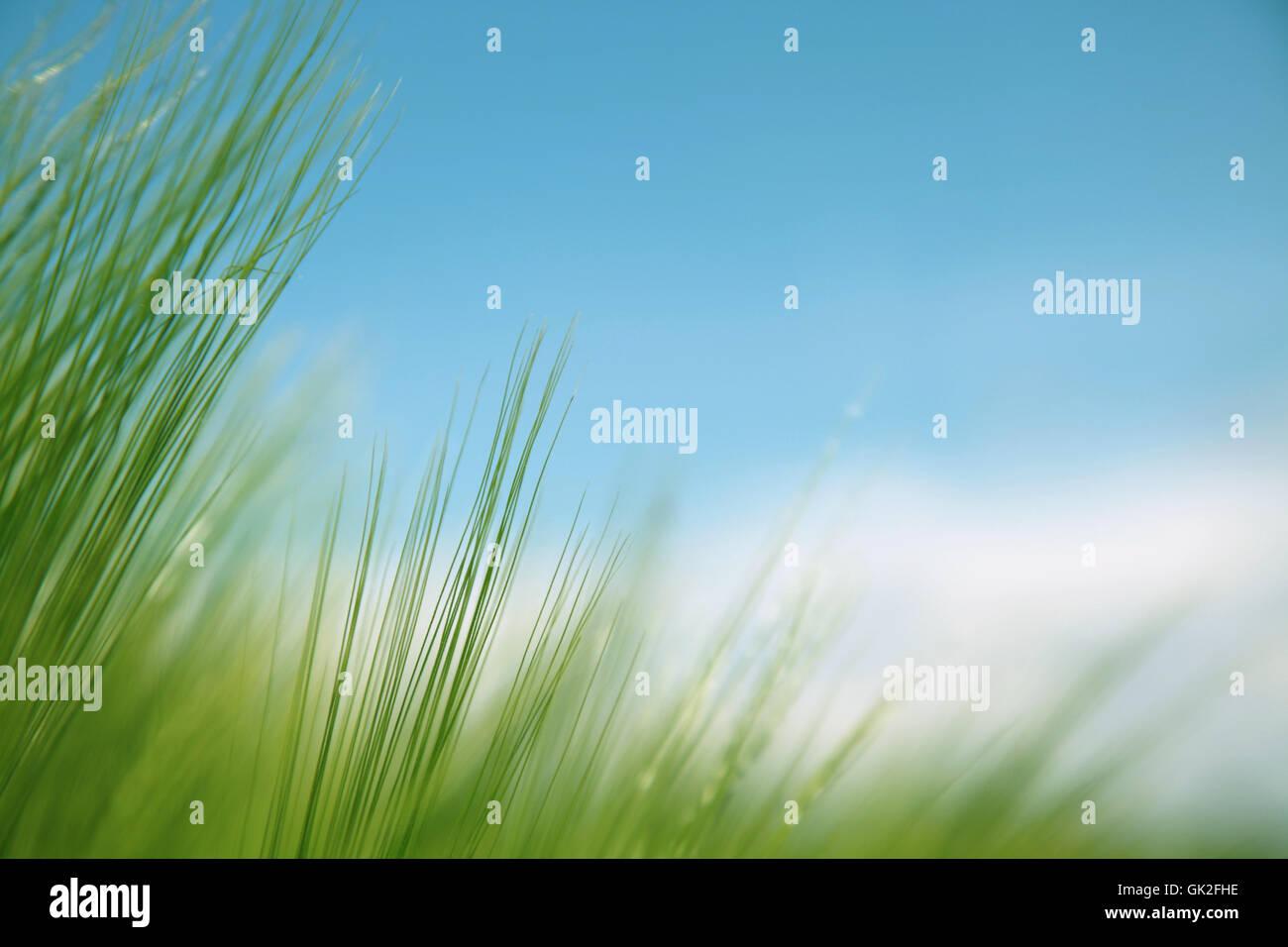Briznas de hierba contra el cielo azul Foto de stock