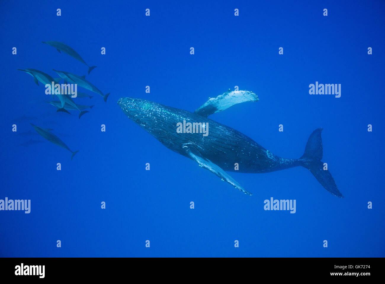 Hawaiian delfines giradores de Grey o delfines, Stenella longirostris longirostris, bow-cabalgando sobre la ballena Imagen De Stock