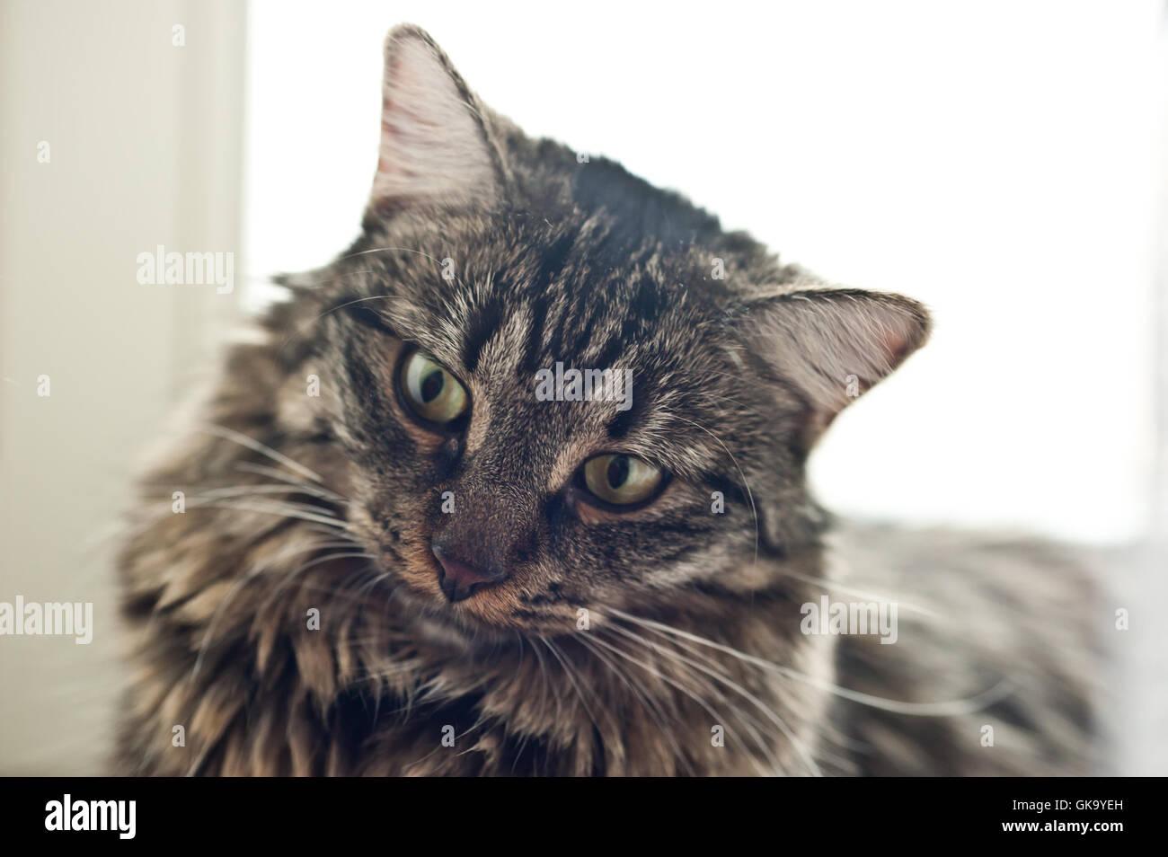 Raza de gato doméstico Foto de stock