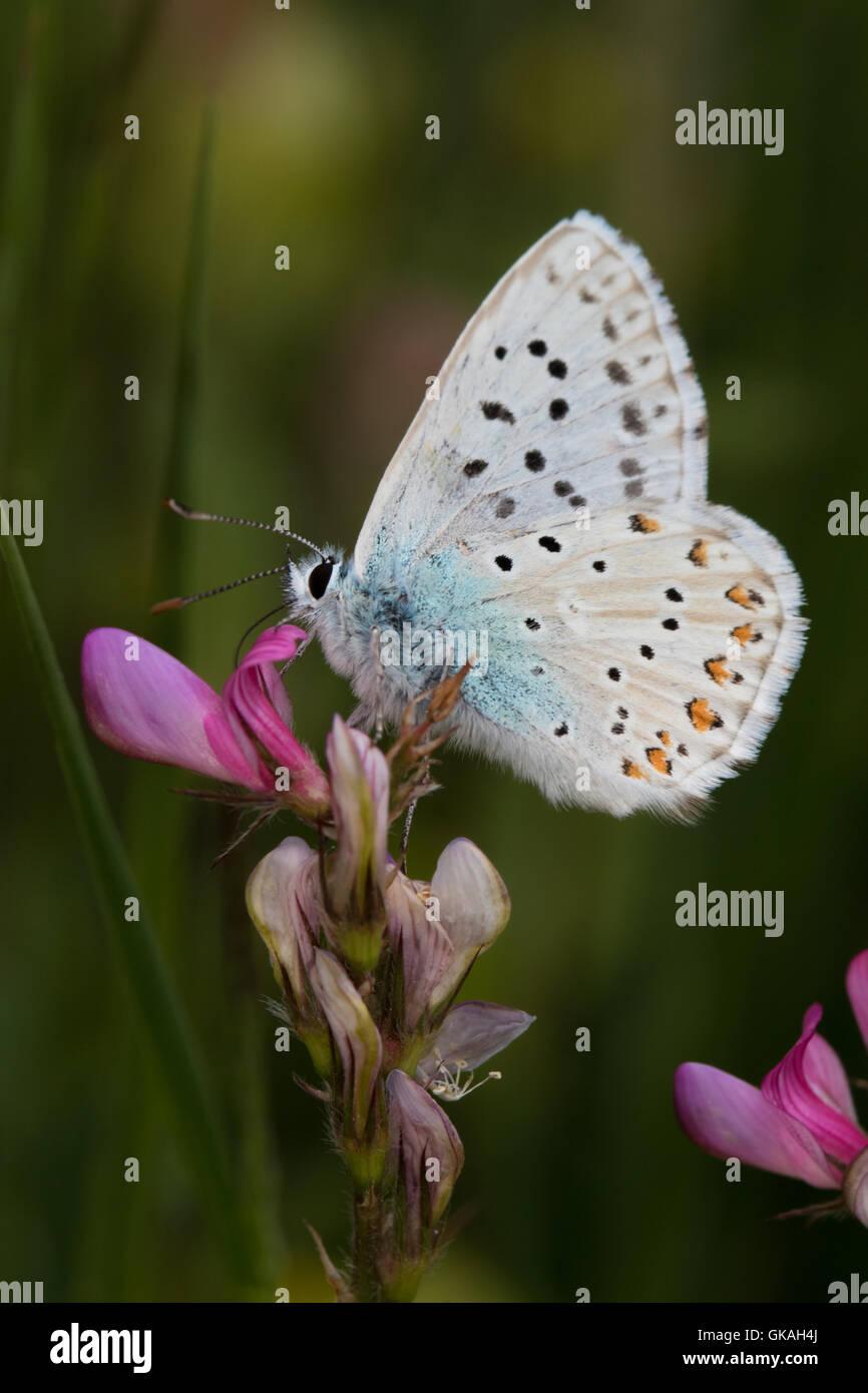 Azul turquesa (Plebicus dorylas) butterfly Imagen De Stock