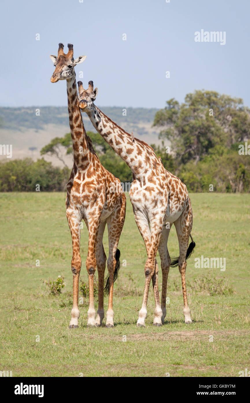 Amistad jirafa simpatía Imagen De Stock