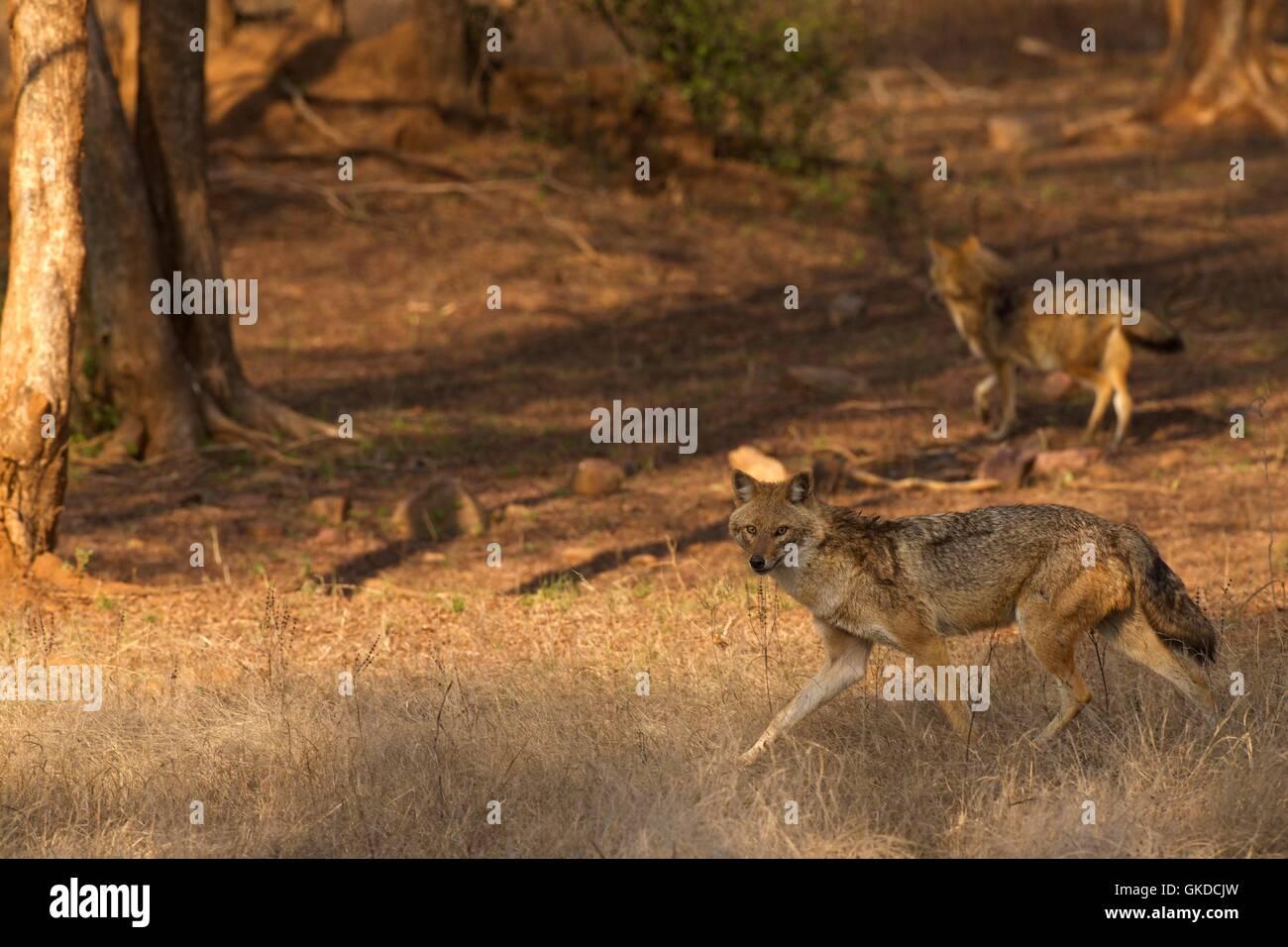 Los chacales dorados, Canis aureus, el parque nacional de Ranthambore, Rajastán, India, Asia Foto de stock