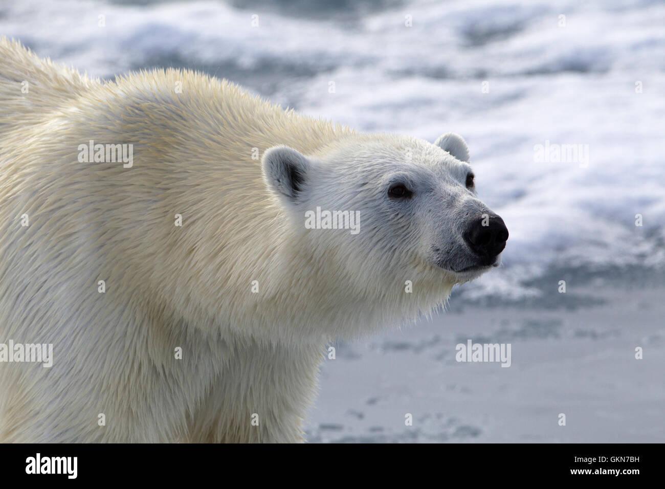 Cara de oso polar en cerrar Foto de stock
