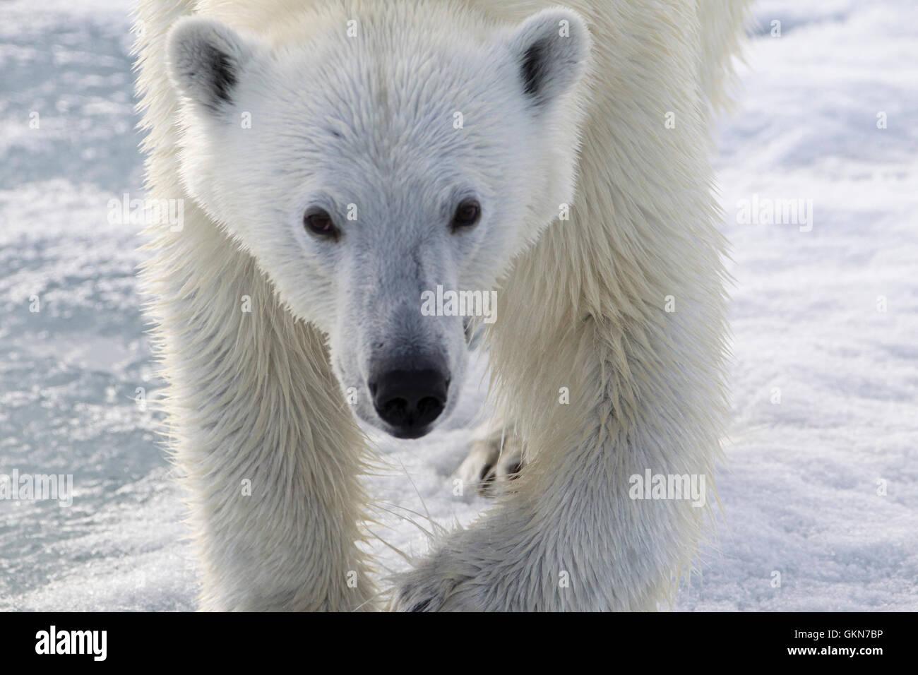 Cara de oso polar en cerrar Imagen De Stock