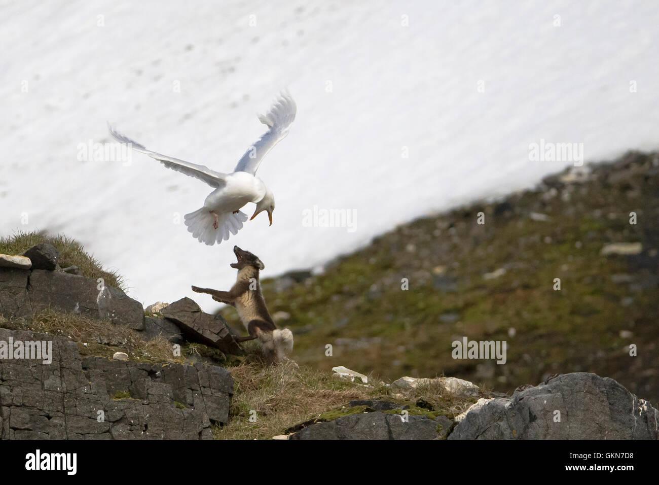 Glaucas Gaviota y zorro ártico enfrentamiento Imagen De Stock