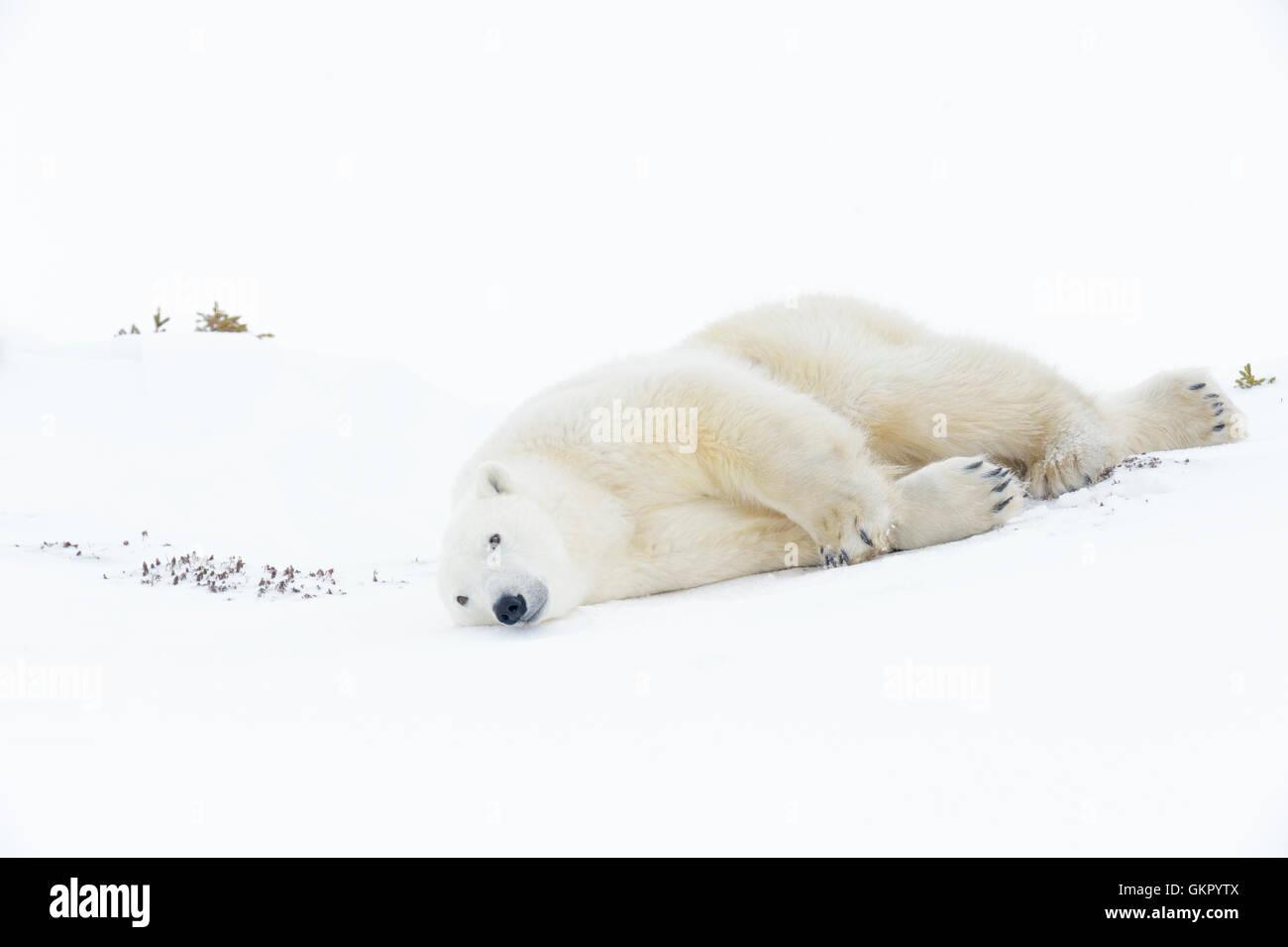 El oso polar (Ursus maritimus) madre deslizando hacia abajo, Parque Nacional Wapusk, Manitoba, Canadá Imagen De Stock