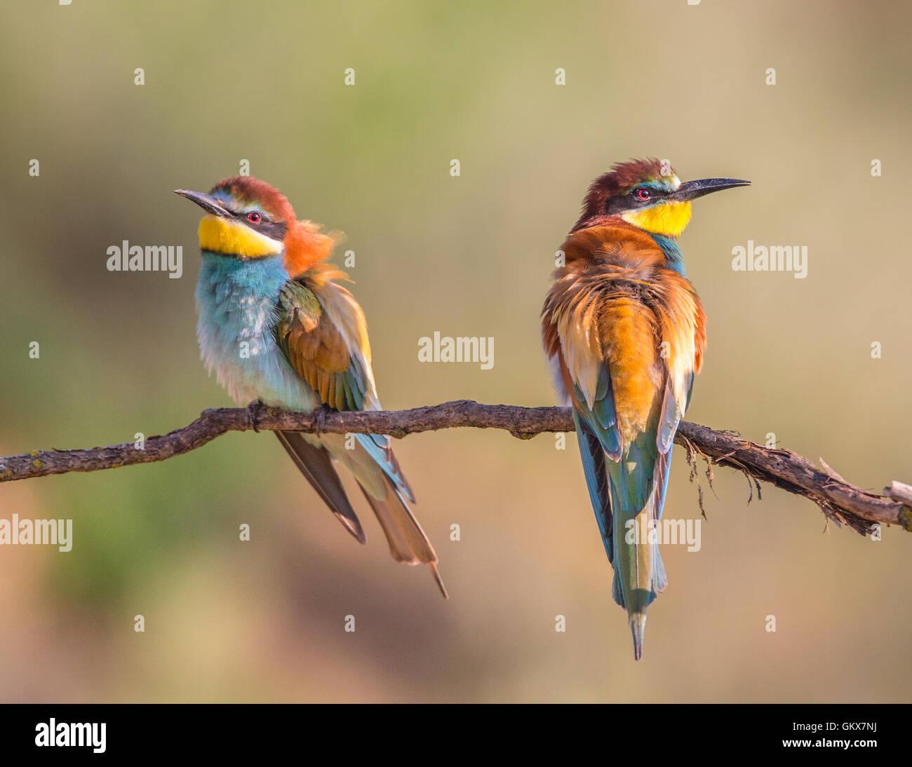 Dos europeos abejarucos (Merops apiaster) donde se posan en una rama Foto de stock