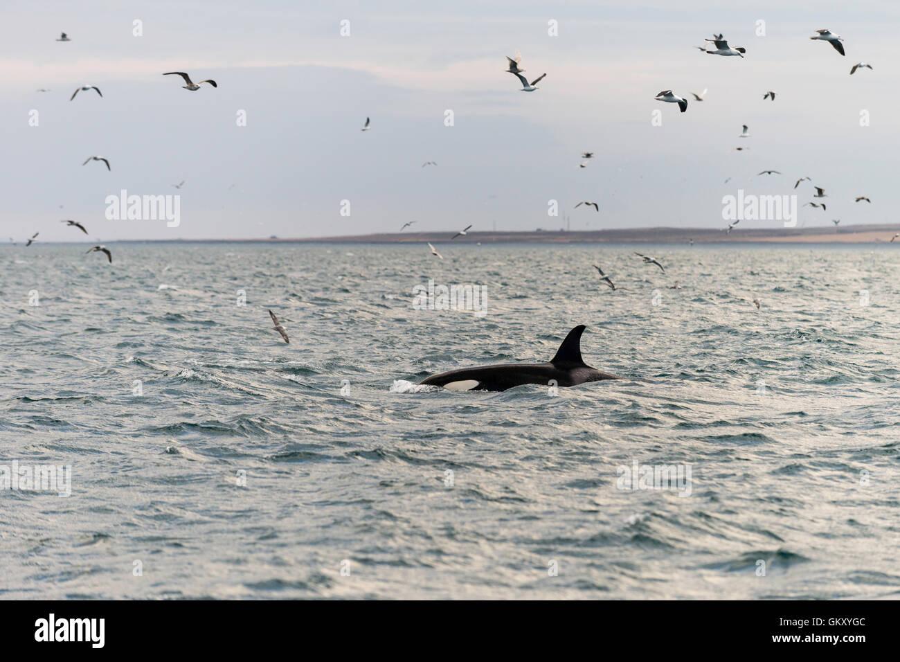 Ballena asesina, orca (Orcinus orca) cerca de Grundarfjörður', una ciudad en el norte de la península de Snaefellsnes, en el oeste de Islandia Foto de stock