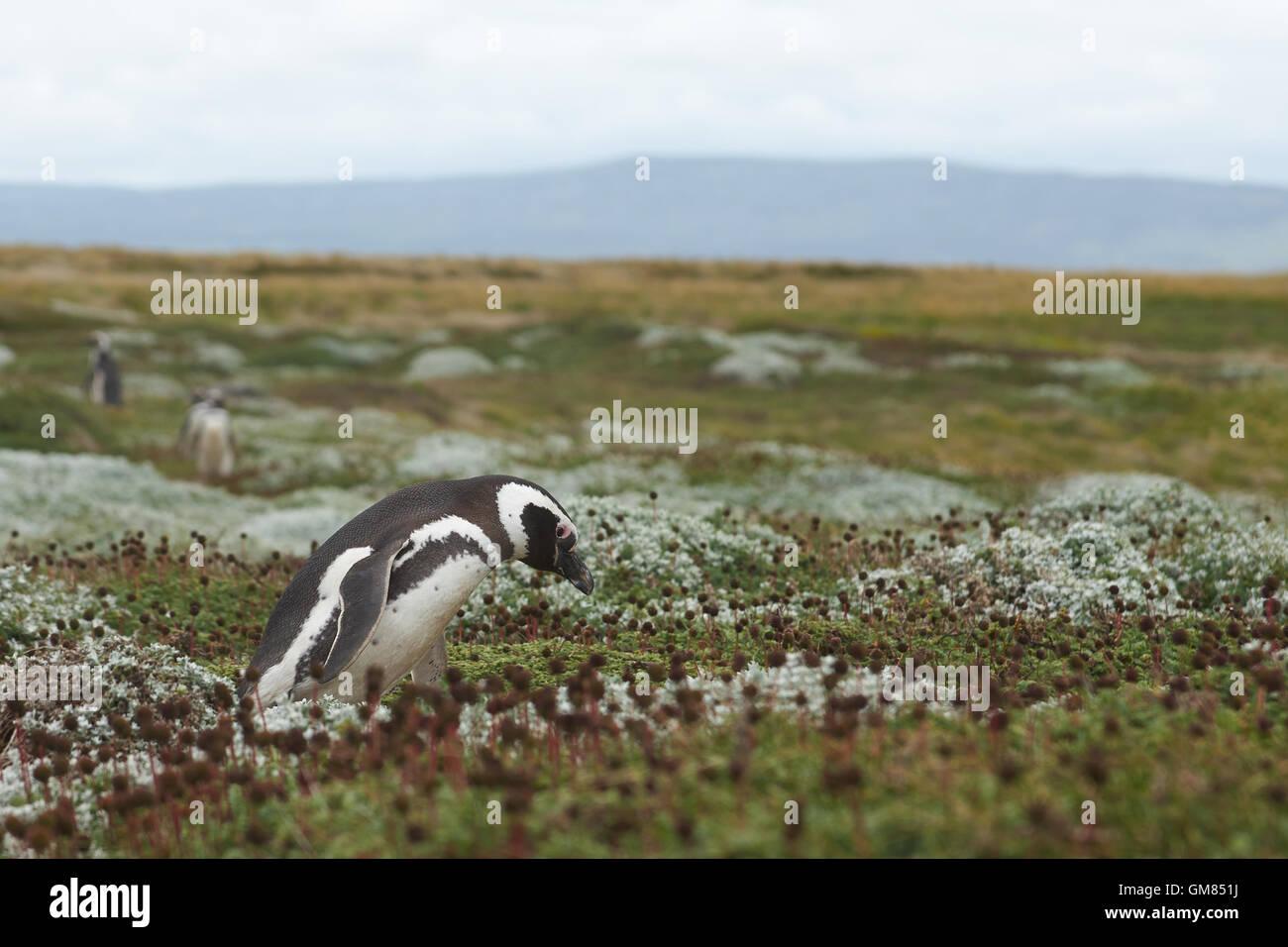 Colonia de Pingüinos de Magallanes (Spheniscus magellanicus) en el Seno Otway cerca de Punta Arenas en la Patagonia, Imagen De Stock