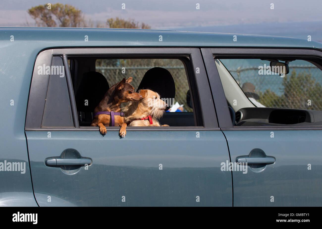 Dos perros mirando afuera de la ventana de coche Imagen De Stock