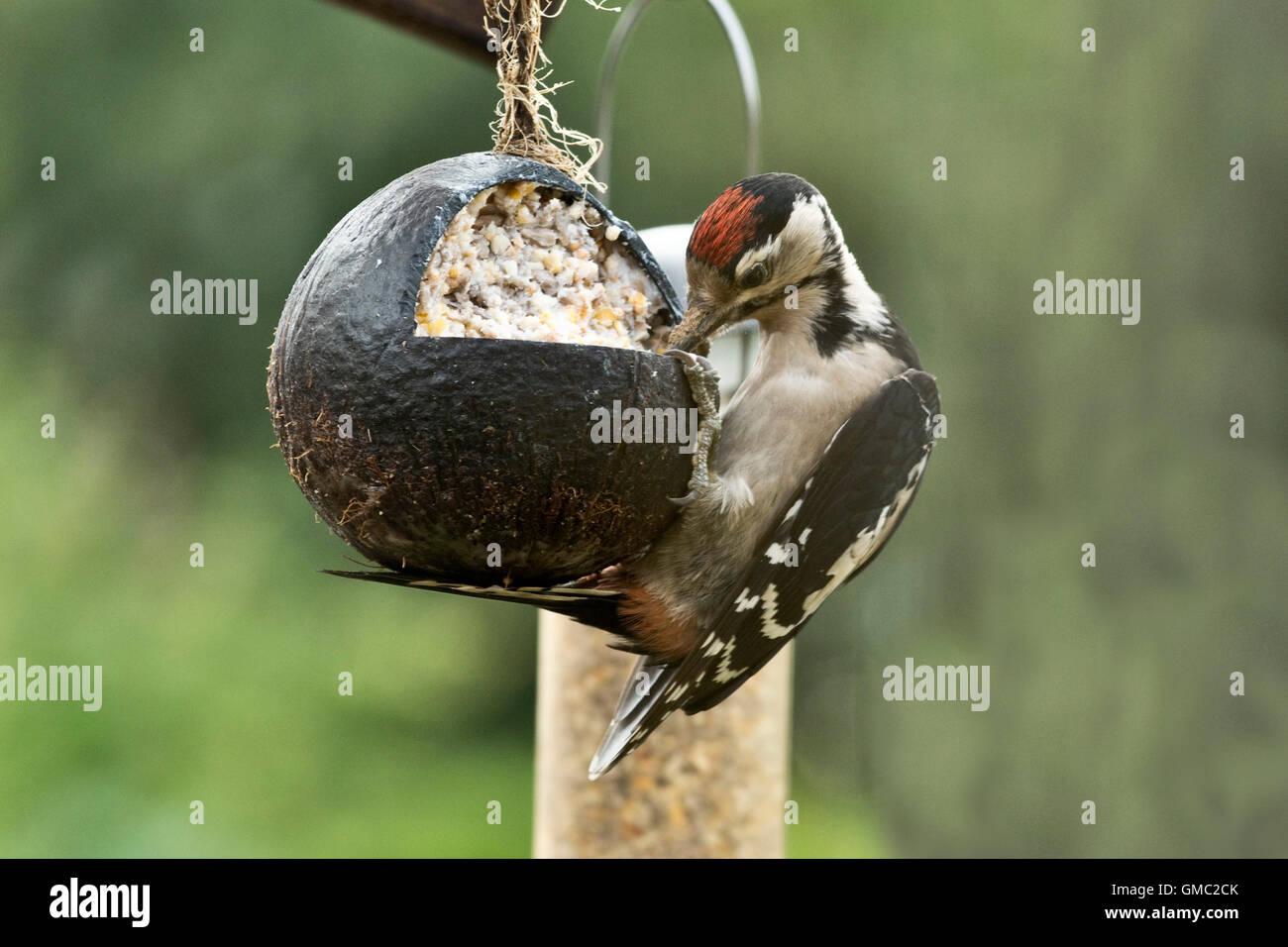 Un gran juvenil woodpecked moteados, Dendrocopos major, alimentación desde una grasa y llena de semillas de Imagen De Stock