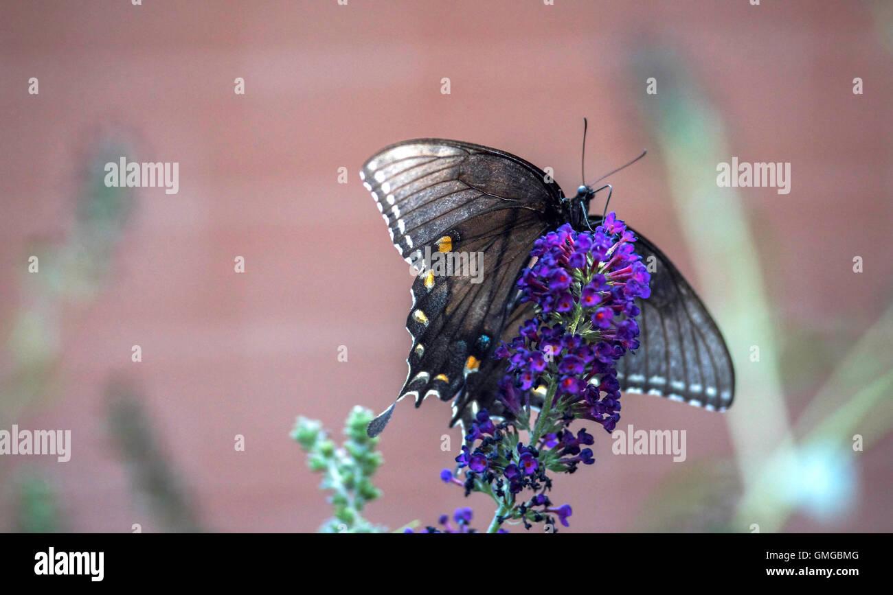 Especie Spicebush #3 mariposas alimentándose de Butterfly Bush Foto de stock