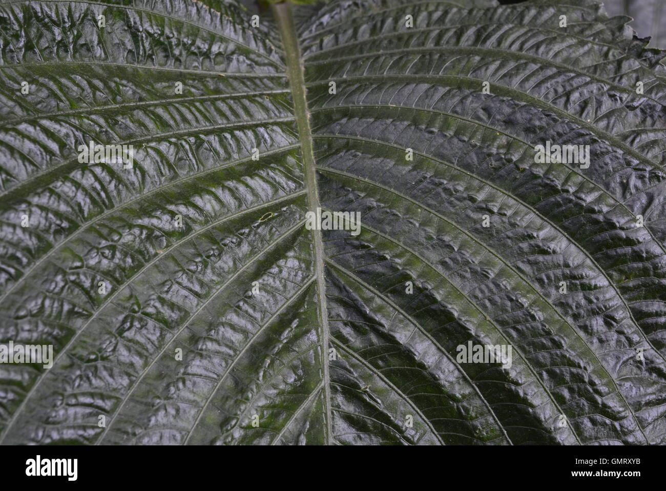 Cerca de hojas verdes con textura para fondos con fuertes venas Imagen De Stock