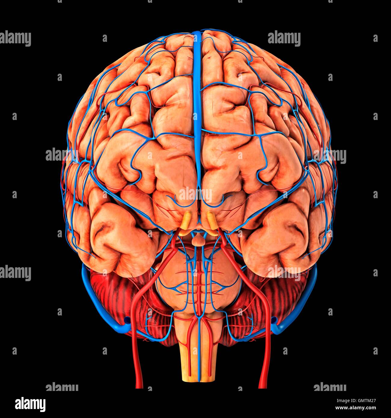 Brain Veins And Anatomy Imágenes De Stock & Brain Veins And Anatomy ...