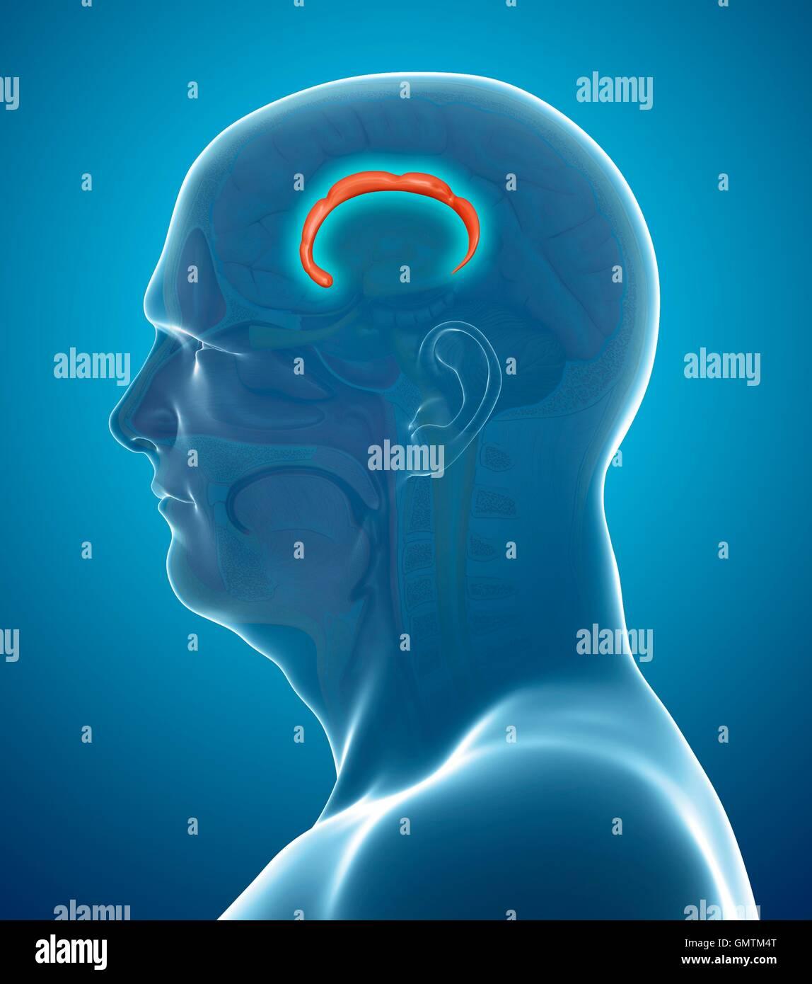 Ilustración de la corteza cingulada girus (flecha) en el cerebro. Imagen De Stock
