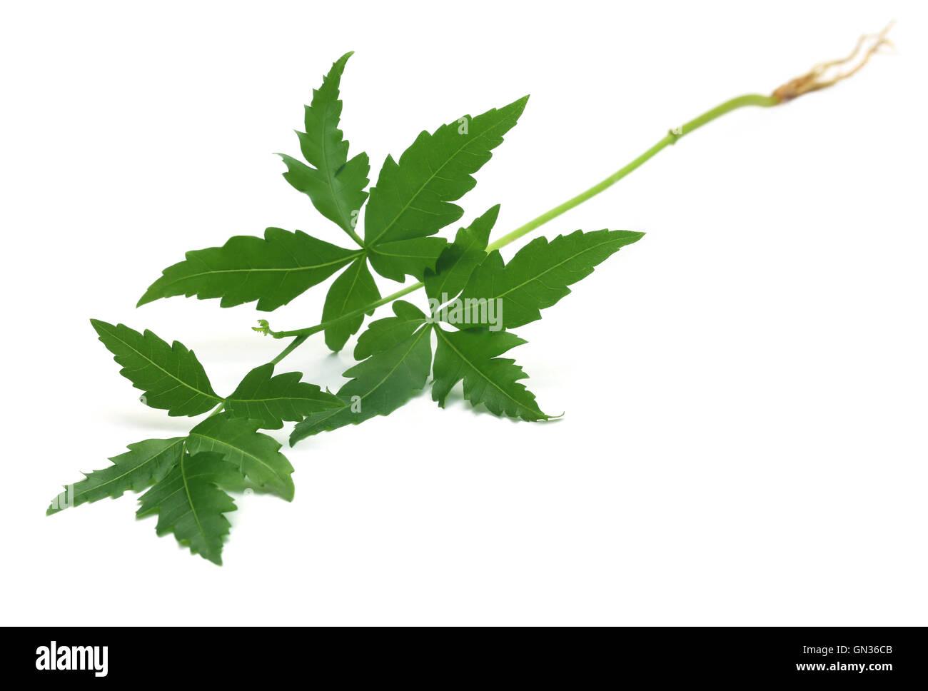 Licitación de plantas medicinales neem sobre fondo blanco. Imagen De Stock