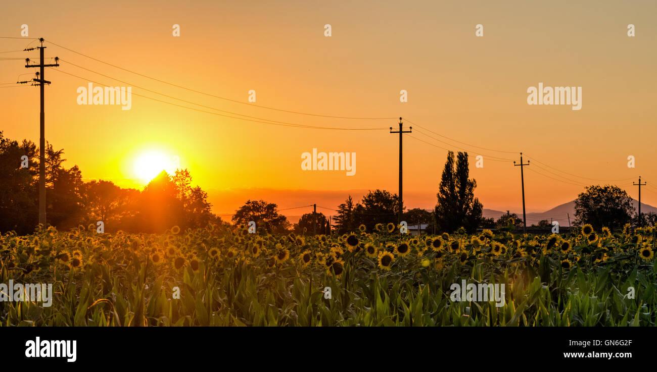 Umbría (Italia) Campo de girasoles al atardecer Foto de stock