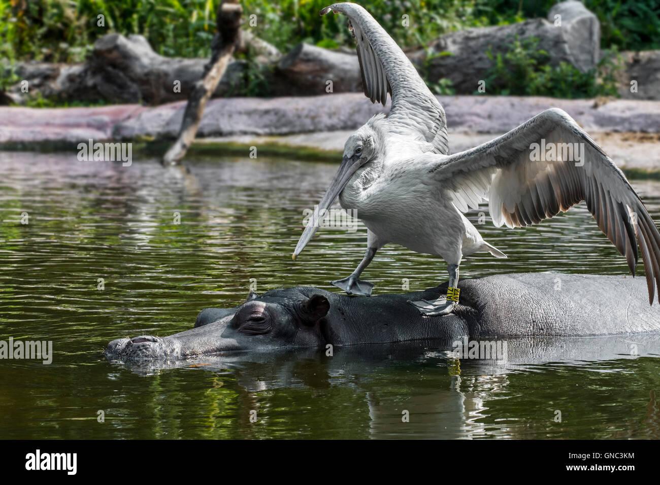 Pelícano dálmata (Pelecanus crispus) descansando sobre el hipopótamo (Hippopotamus amphibius) en el estanque en Foto de stock