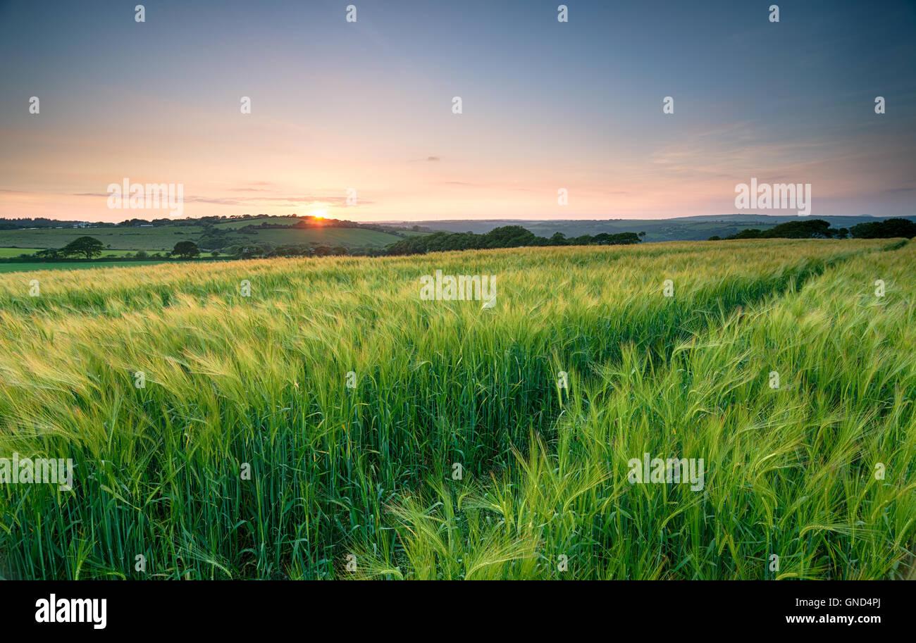 Puesta de sol sobre un campo de cebada verde y exuberante en la campiña de Cornualles Imagen De Stock